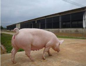 秋季!哺乳母猪科学饲