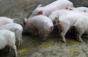 继续深究200头育肥猪的腹泻原因!