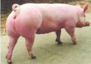 后备母猪什么时候可以配种你知道吗?具备以下5点才可以