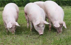 后备母猪配不上种的4个原因,你都知道吗?