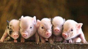 养猪七定位,培养好习惯事半功倍......
