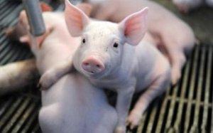 【断奶仔猪】让断奶仔猪平安转入保育舍