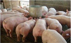 【育肥猪】四招养猪技