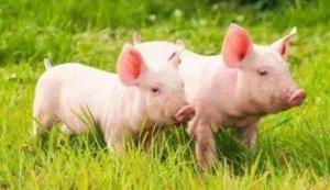 【保育猪】秋冬季保育猪管理及疾病防控