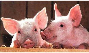 【疫苗免疫】关于仔猪何时首免猪瘟疫苗的探讨【值的收藏】
