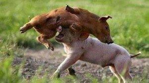 【图说】总结猪群咬斗的5个原因,解决咬斗的6个有效措施