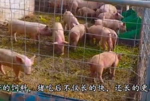 养猪时在猪饲料中只需添点它,猪长的又肥又壮,出栏快