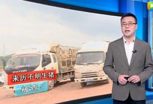 广东省五华县,两货车运载来历不明生猪!严查!