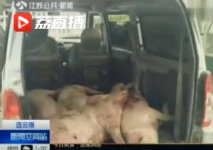 男子拉4头病死生猪想贩到山东,交警拦截后闻一下差点吐了……