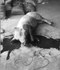 屠宰场目击:生猪屠宰需要规范!