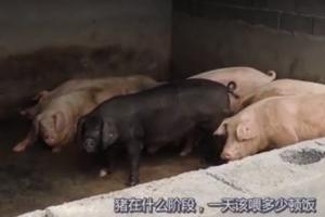 猪在养殖过程中一天喂几顿?该怎么喂?喂什么?了解一下!