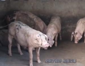 涨知识!千万不要用尿素来作为猪饲料的添加剂