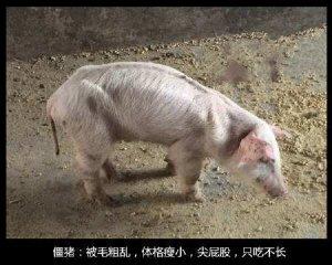 导致猪消瘦的几种疾病