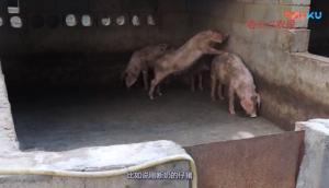仔猪要喂养是少餐还是多餐呢?