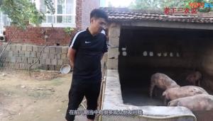 喂猪是否要定时?