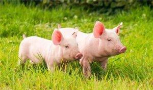 猪价波动加大,南北分化明显,被迫压栏!