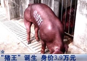 """现场直击!湖北种猪竞拍,新科""""猪王""""身价高达3.9万!"""