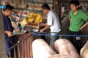 广东禁运外省生猪, 猪价从7.6涨到8.8!
