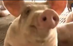 泔水直接喂猪不可取!养殖户先拿泔水喂黄粉虫,再拿虫喂猪!