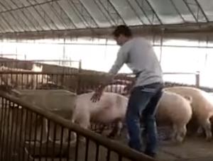 农村卖猪记:4个人和猪斗智斗勇,真是一波三折!