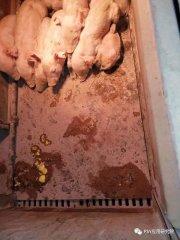 冬季猪舍保温通风你知多少?做不好保温,冬季死亡率极高