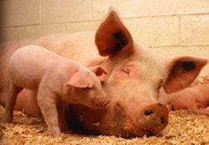 秋冬季节母猪舍保暖得做好!哪些措施简单又环保?