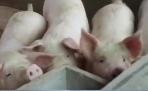 2018年国家对养猪户出手了,养猪也有补贴了,不领吃亏了