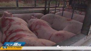 外地可疑生猪流入湖南,多部门联合处置!