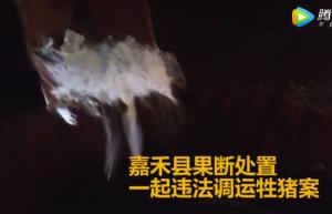 湖南嘉禾县处置一起违法调运生猪案,一车