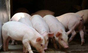 疫情来势汹汹,11月的猪价还会涨吗?