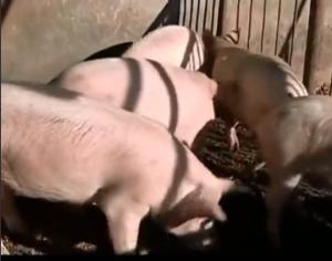 都说愚蠢的猪,猪真的聪明,大多数的养猪经验