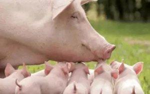 接种口蹄疫疫苗,猪不食呕吐死亡。一定是疫苗反应吗?