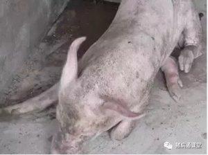 一种不常见,但容易误诊的猪病