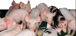 预防断奶后大肠杆菌肠毒血症的营养策略