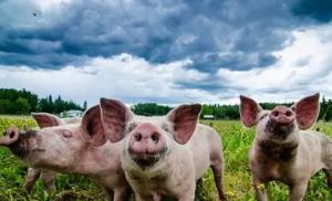 2018年即将结束,三个原因告诉你猪价一定会涨!
