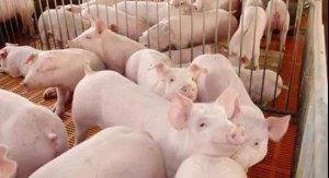 辛苦选育的后备母猪却配种失败?主要原因就这几个
