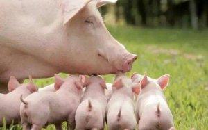 尴尬了,同样是养猪,不同的省为何猪价相
