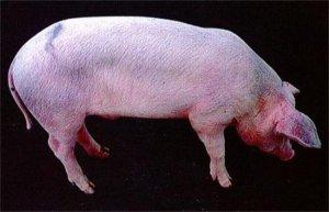 技术:一例由引种导致猪场爆发蓝耳病的临床病例