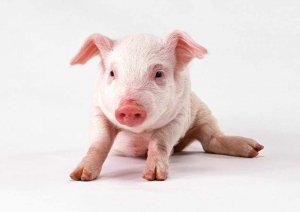 兽药知识:猪场各阶段兽药使用程序及冬季用药方案
