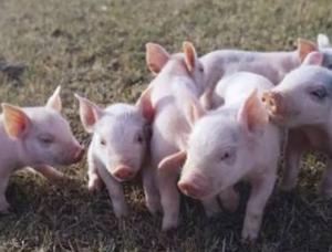 非洲猪瘟再袭规模场,猪价上涨困难!