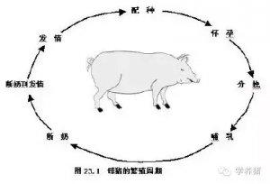 怎样让母猪有规律的发情,这些你必须了解!