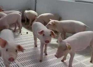 秋冬季节,如何应对猪呼吸道疾病综合症?帮您获益!