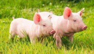 畜牧局兽医教你如何提高仔猪成活率!