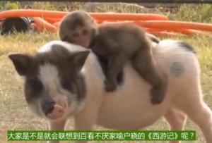 猴子骑在猪背上,猪竟然不反抗,这场景还是第一次见到!