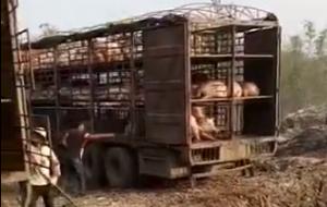 非洲猪瘟来了莫慌, 感染生猪无害化处理现场