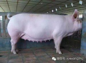猪场配种分娩率超90%的秘诀(值得收藏)