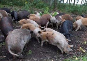 技术宝典 关于非洲猪瘟风险的10个关键问题