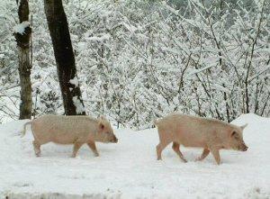 冬季养猪要注意的四个不速之客,能减少不必要的损失