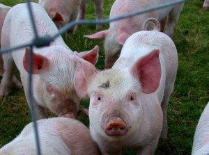 季节性消费推涨猪价?四省份解封后再遭侵