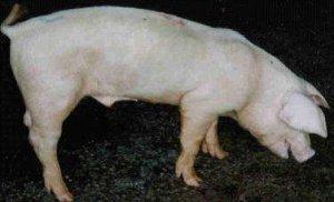 猪场饲养管理篇:如何鉴别与管理病弱猪?减少猪场损失